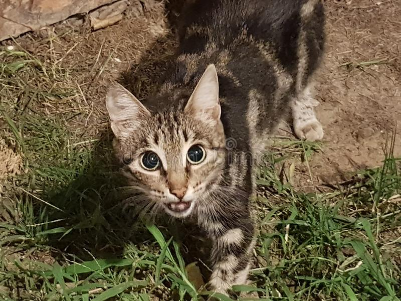 Um gato de arreganho com um relance desagradado senta-se na grama perto da jarda no fundo de uma parede de tijolo vermelho e olha foto de stock royalty free