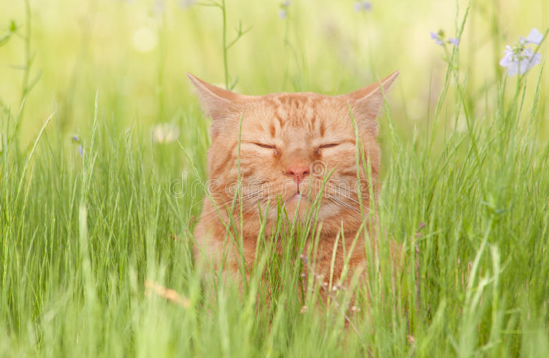 Um gato de gato malhado alaranjado alegremente feliz que aprecia a vida