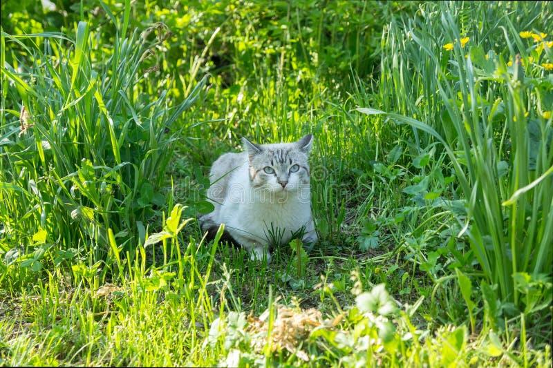 Um gato de gato malhado branco encontra-se em uma grama grossa verde no dia ensolarado fotografia de stock royalty free