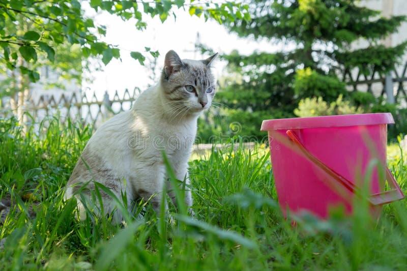 Um gato de gato malhado branco está sentando-se ao lado de uma cubeta cor-de-rosa na jarda fotos de stock royalty free