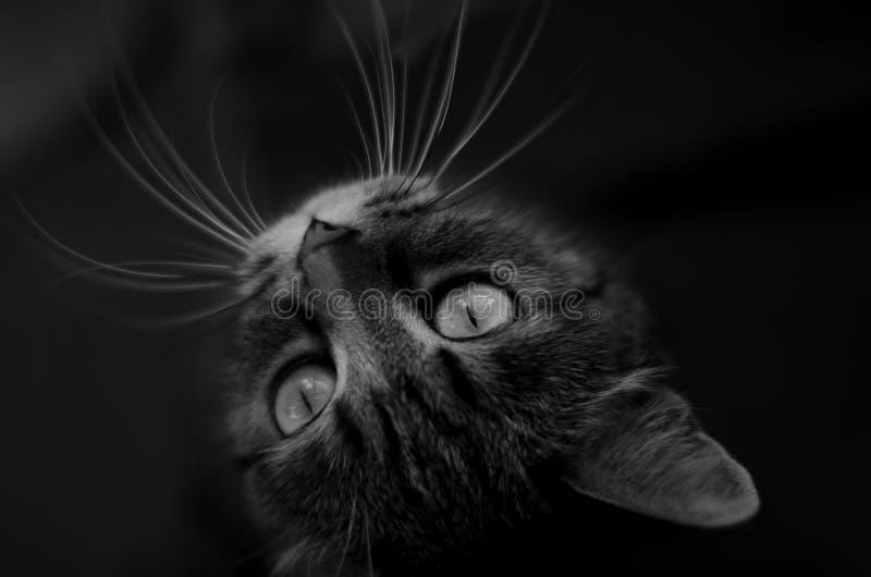 Um gato de gato malhado, preto e branco fotografia de stock royalty free