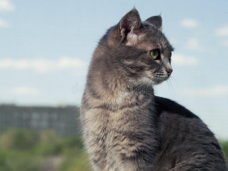 Um gato de olhos verdes cinzento bonito com listras preto e branco senta-se na soleira e olha-se um pouco longe do imagem de stock royalty free