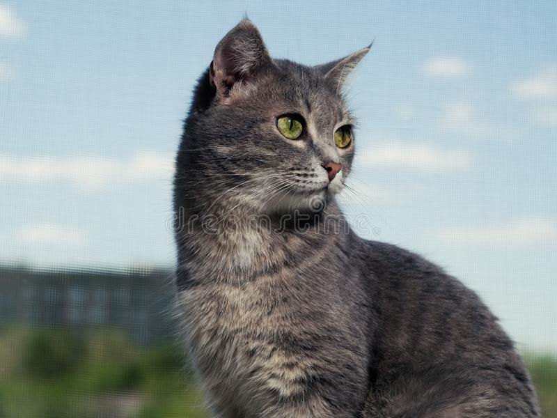 Um gato de olhos verdes cinzento bonito com listras preto e branco senta-se na soleira e olha-se um pouco longe do imagem de stock
