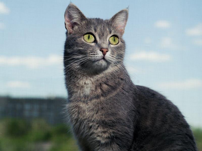 Um gato de olhos verdes cinzento bonito com listras preto e branco senta-se na soleira e olha-se um um pouco de mais alto do que imagens de stock royalty free