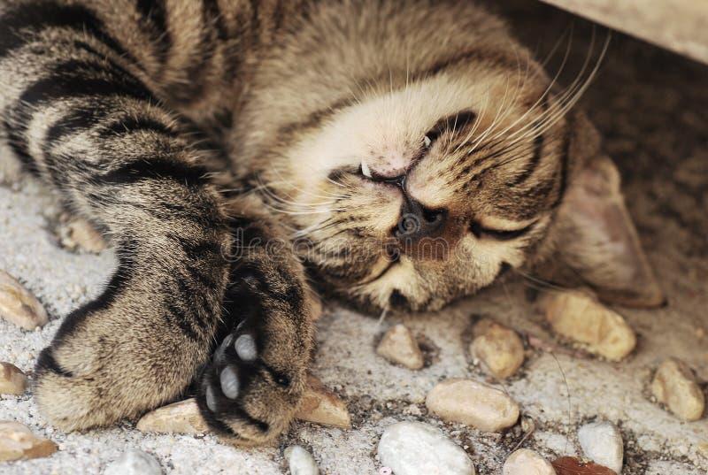 Um gato disperso que dorme em uma pose inábil foto de stock