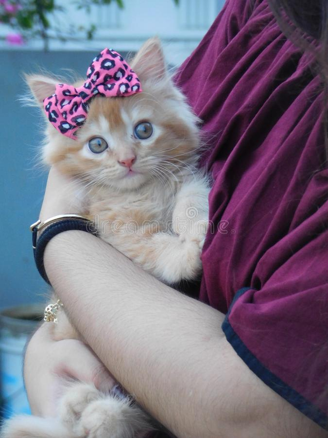 um gato do persion fotos de stock