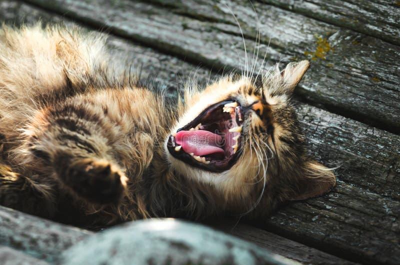 Um gato em um banco comum na vila boceja extensamente e abre sua boca imagens de stock