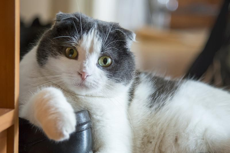 Um gato engraçado cansado encontra-se em uma sapata no assoalho fotos de stock royalty free