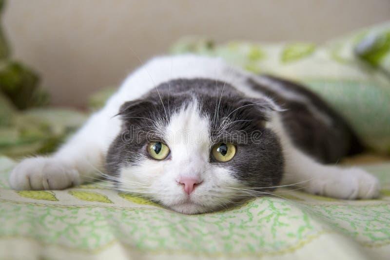 Um gato engraçado cansado encontra-se na barriga na cama fotos de stock