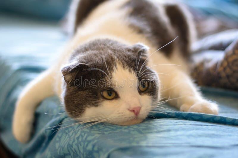 Um gato engraçado cansado encontra-se na barriga da cama foto de stock