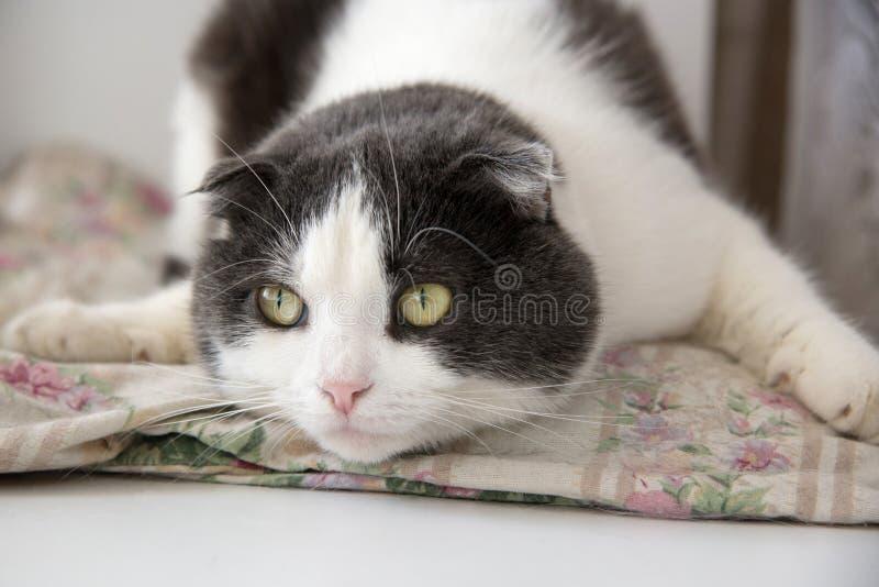 Um gato engraçado cansado encontra-se na barriga no descanso fotos de stock royalty free