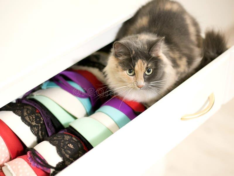 Um gato está sentando-se em um armário aberto com roupa interior foto de stock royalty free