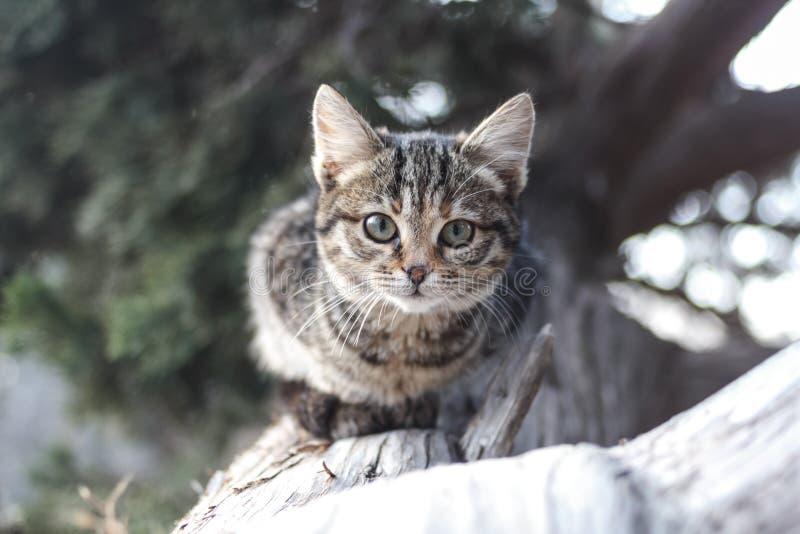 Um gato listrado cinzento em um tronco de uma árvore desmoronada do zimbro está olhando Gato no selvagem imagens de stock royalty free