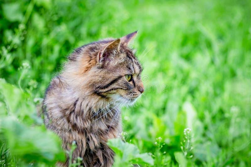 Um gato listrado macio no fundo de uma grama verde no jardim olha o aside_ imagem de stock royalty free