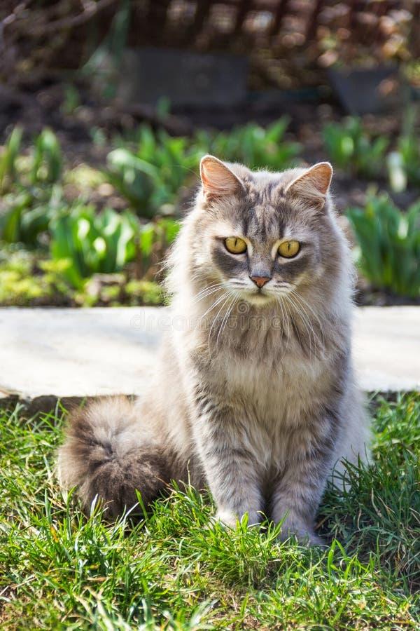 Um gato macio pensativo está sentando-se na grama Gato bonito da rua no dia ensolarado Gato cinzento triste imagens de stock