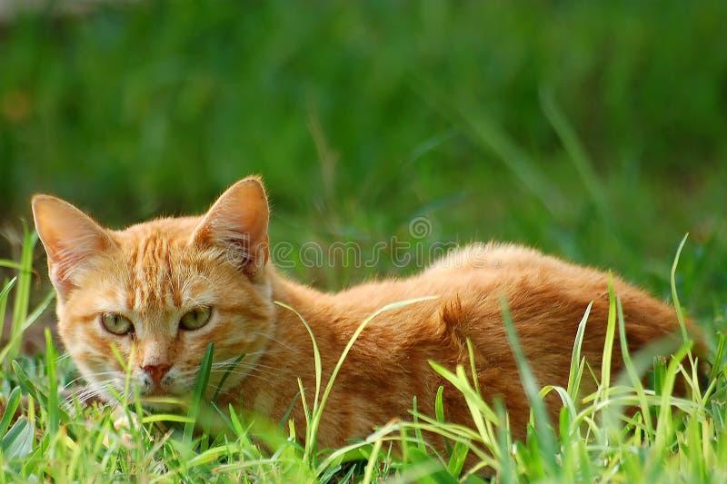 Um gato na grama imagem de stock royalty free