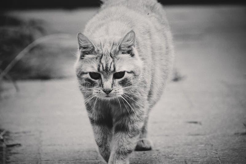 Um gato no black&white fotos de stock