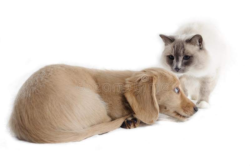 Um gato olha um filhote de cachorro cowering fotografia de stock royalty free