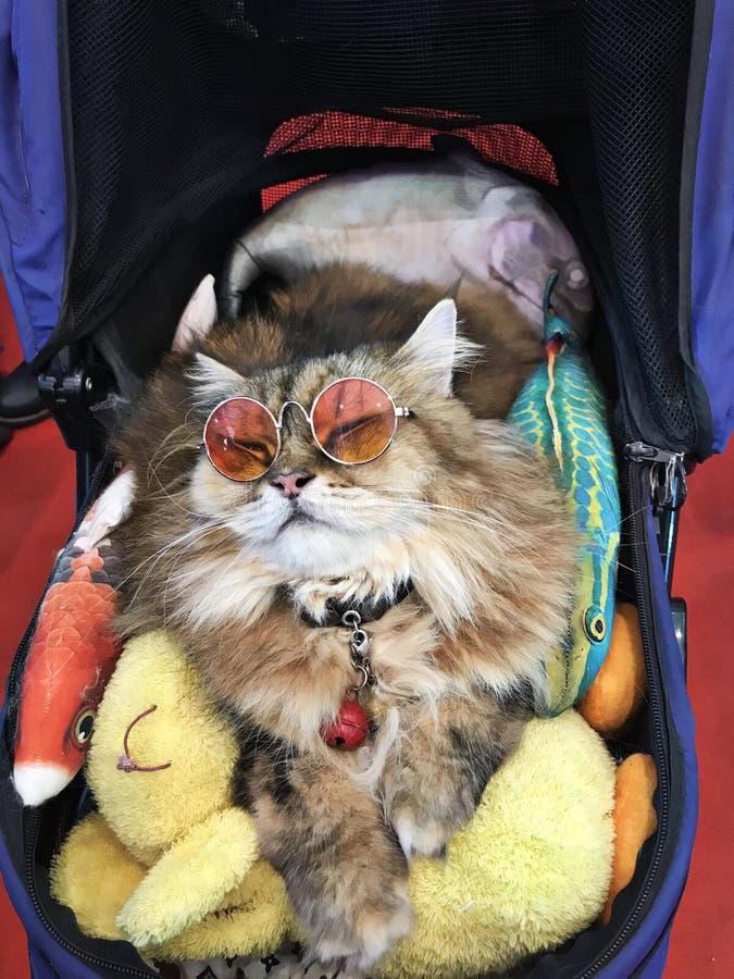 Um gato persa bonito fotografia de stock royalty free