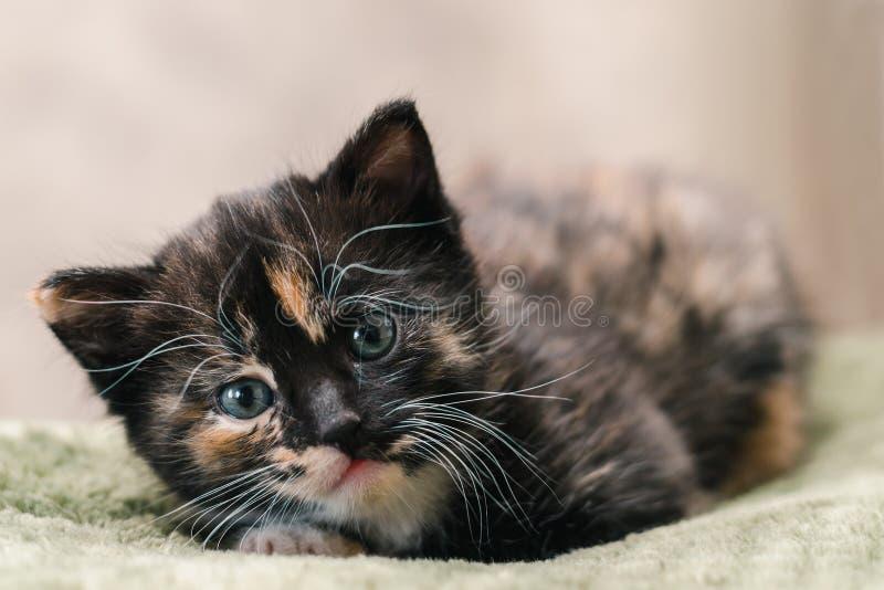 Um gato preto bonito pequeno com os pontos brancos e vermelhos e os olhos azuis que encontram-se em um tapete verde fotografia de stock royalty free