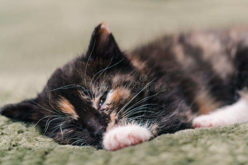 Um gato preto bonito pequeno com os pontos e olhos azuis brancos e vermelhos está dormindo em uma manta verde fotografia de stock