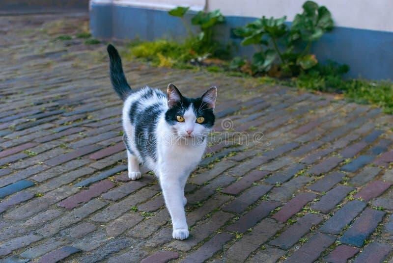 Um gato preto e branco manchado em uma rua O gato olha direito na câmera com seus olhos amarelos brilhantes imagem de stock royalty free