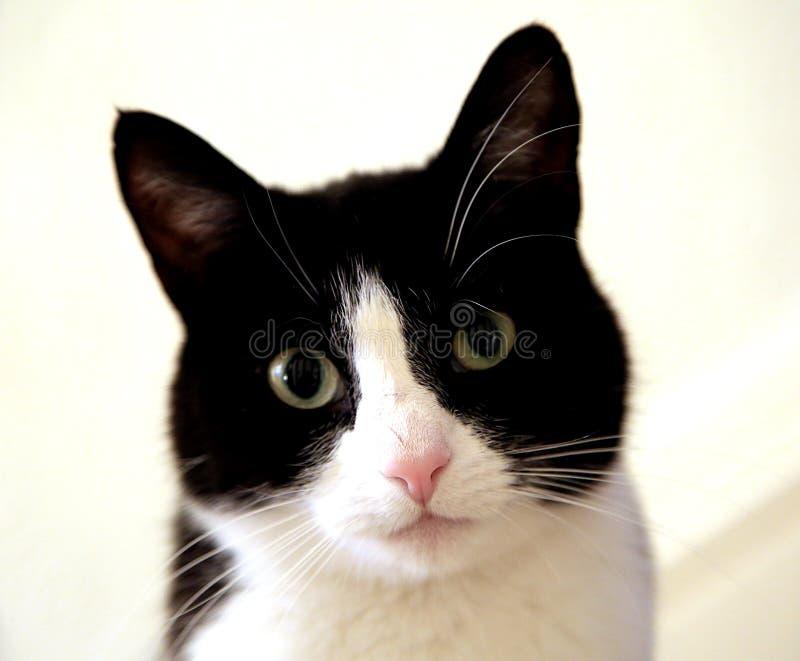 Um gato preto e branco novo imagem de stock