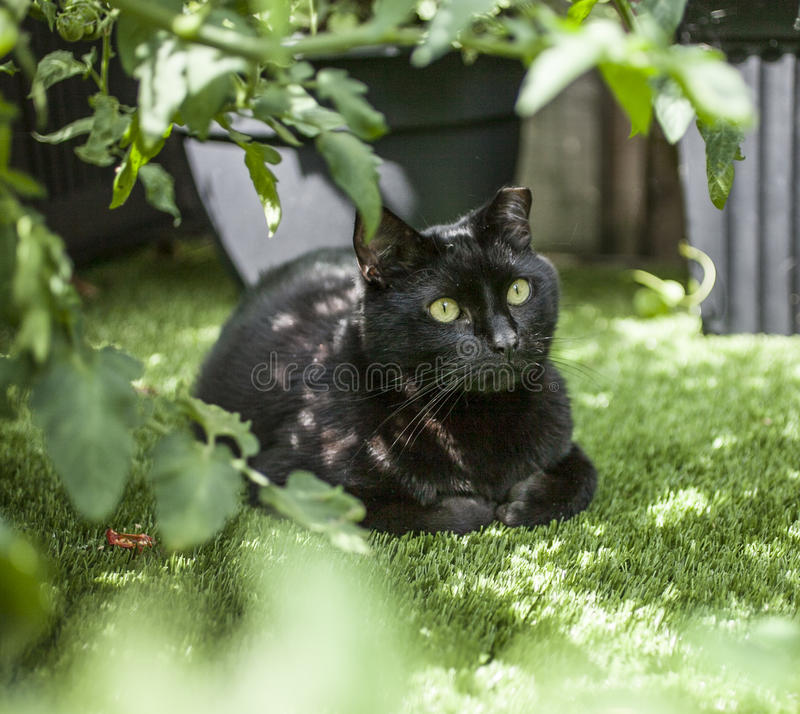Um gato preto que senta-se sob uma planta de tomate imagens de stock royalty free