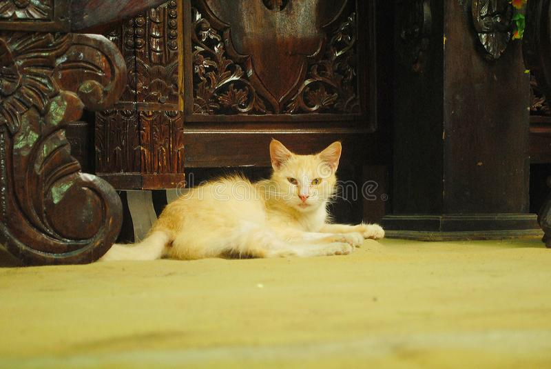 Um gato saudável, rigoroso, esperto e fresco foto de stock royalty free