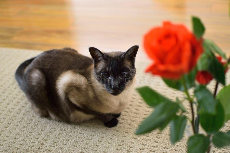 Um gato Siamese e uma rosa vermelha imagens de stock royalty free