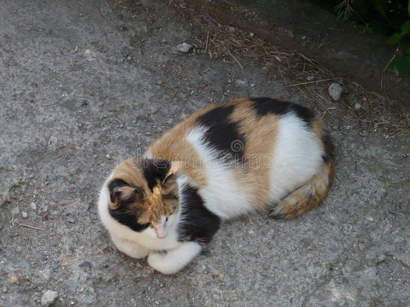 Um gato três-colorido engraçado que descansa pacificamente imagens de stock royalty free