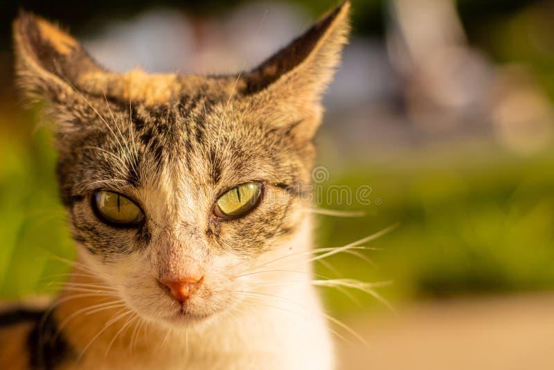Um gato tricolor de olhos verdes bonito que olha a câmera foto de stock