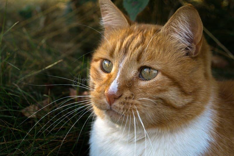 Um gato vermelho olha pensativamente na distância e no pensamento sobre algo fotos de stock royalty free
