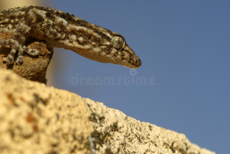 Um gecko foto de stock