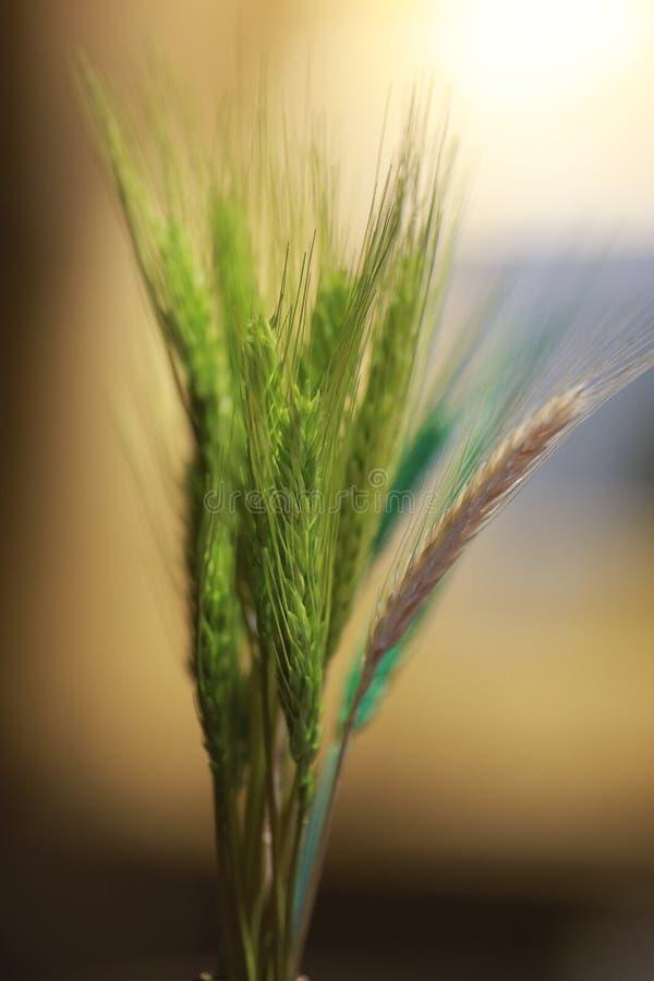 Um germe de trigo verde novo com bokeh fotografia de stock