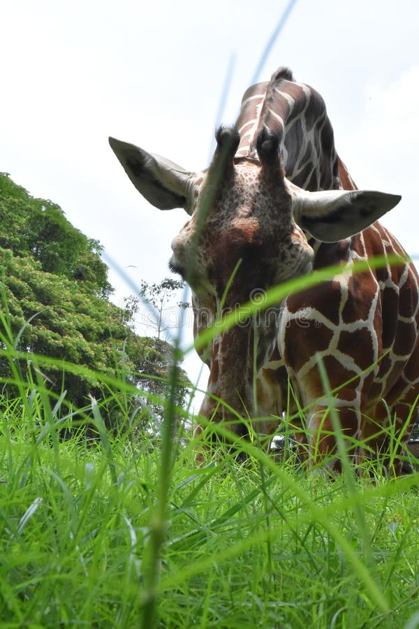 Um Giraf em jardins zoológicos, Dehiwala Colombo, Sri Lanka fotografia de stock royalty free