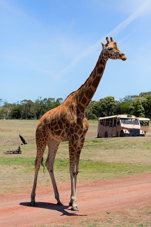 Um girafa imagem de stock royalty free