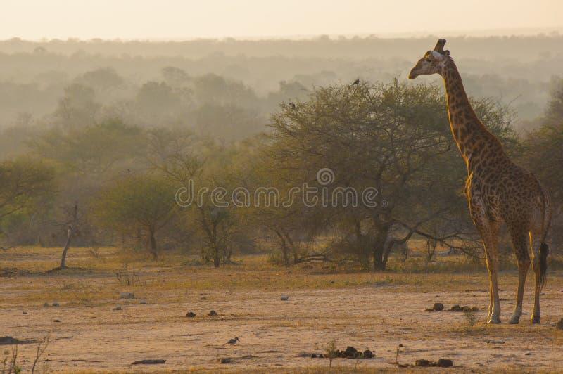 Um girafa adulto que olha para fora sobre um savana nevoento foto de stock royalty free