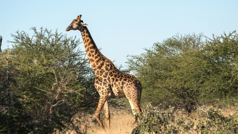 Um girafa grande no arbusto foto de stock