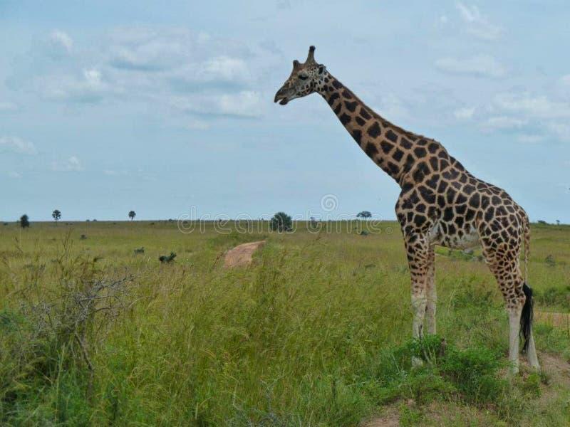 um girafa na pastagem em África foto de stock