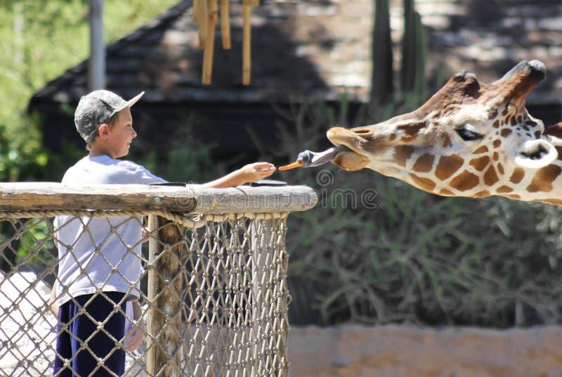 Um girafa que alimenta em Reid Park Zoo imagens de stock