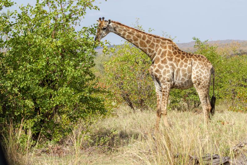 Um girafa que come uma árvore no parque nacional de Kruger fotos de stock