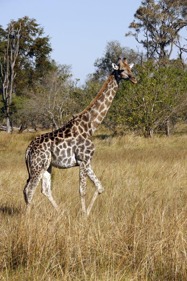 Um Giraffe em Savuti fotos de stock