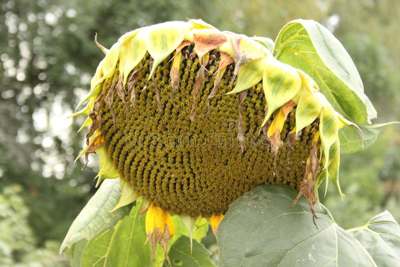 Um girassol bonito com sementes e folhas em um d foto de stock