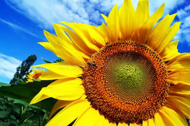 Um girassol de florescência com uma abelha contra um fundo do céu azul fotografia de stock