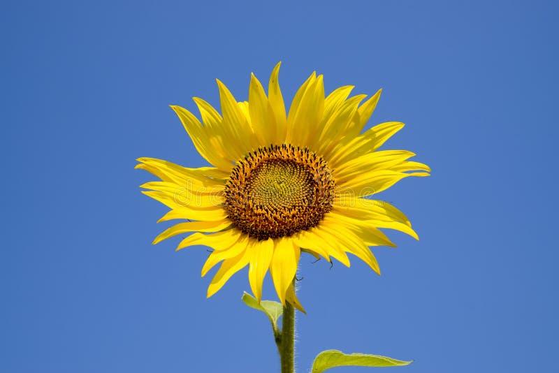 Um girassol de florescência contra um céu azul e um sol imagens de stock royalty free