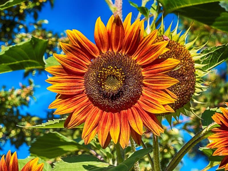 Um girassol flamejante alaranjado amarelo com fundo das plantas verdes foto de stock