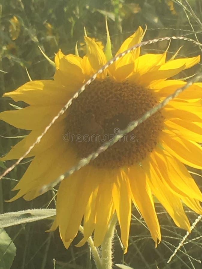 Um girassol singular em um campo dos girassóis imagens de stock royalty free