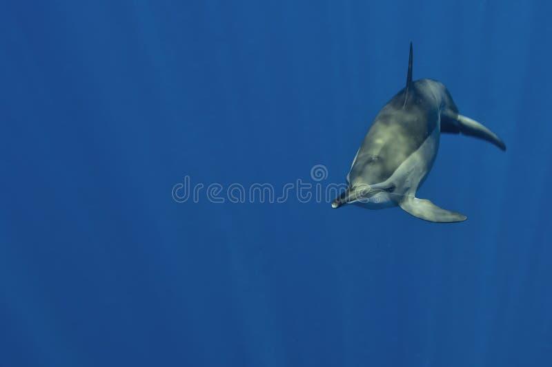 Um golfinho isolado que olha o no mergulhador subaquático do mergulho do mar azul profundo imagem de stock