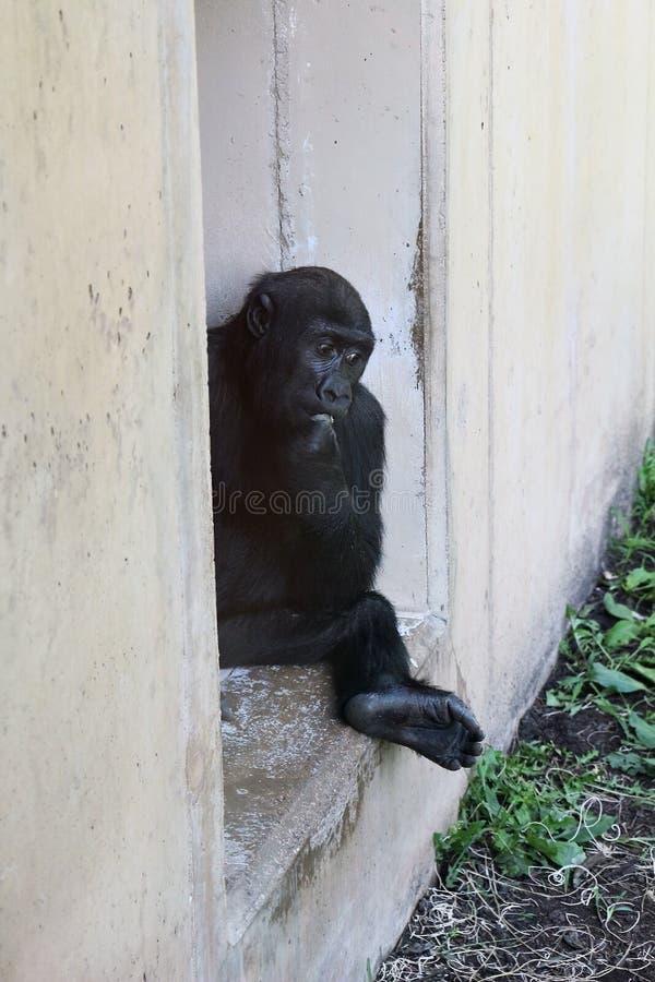 Um gorila de bebê giro sentado em uma janela aberta fotografia de stock